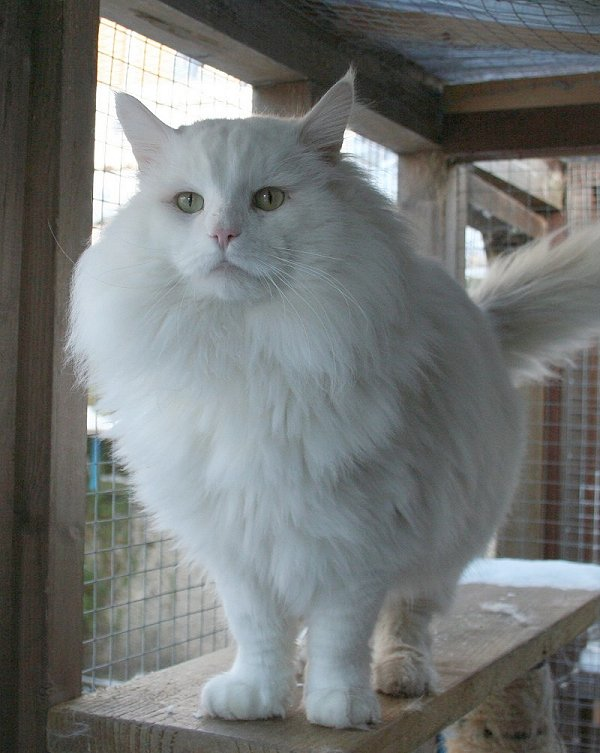 norwegian forest cats and kittens available at