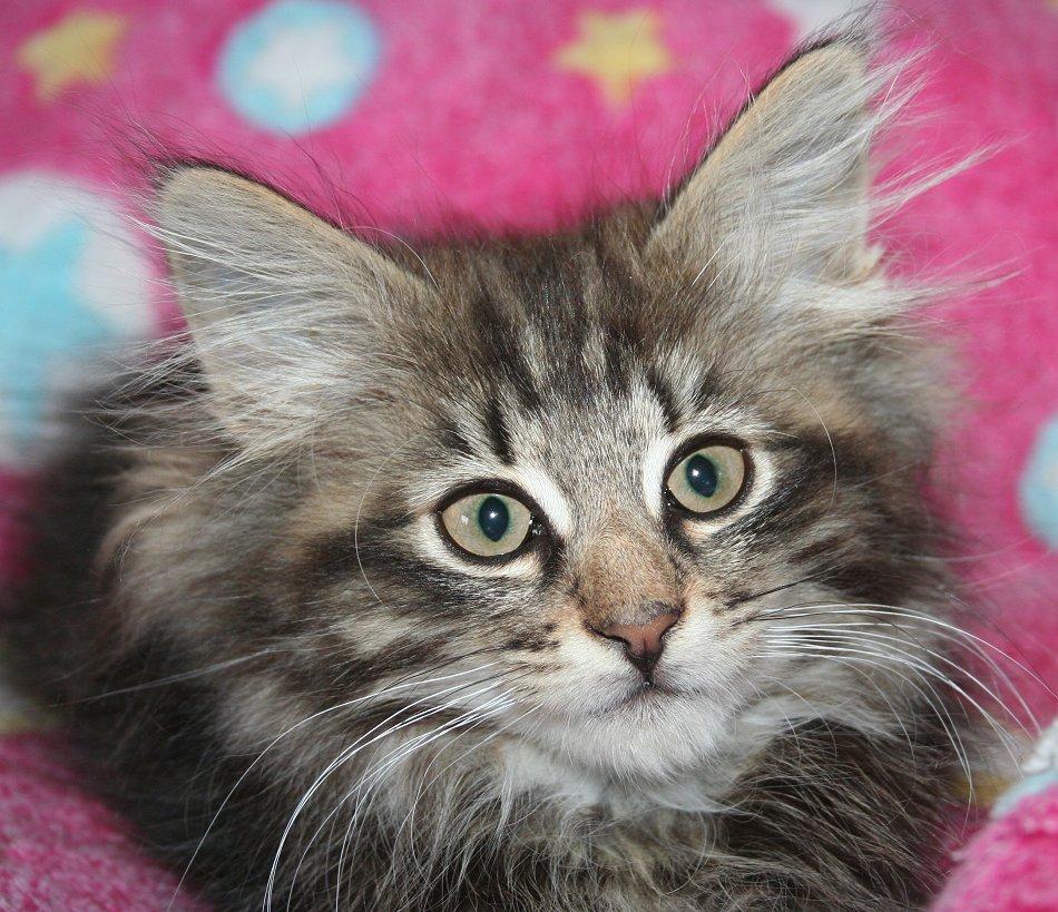 Norwegian Forest Cat For Sale Preloved