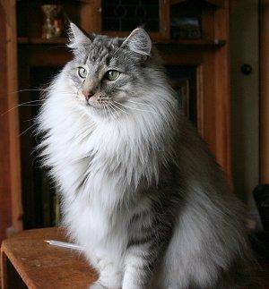 Norwegian Forest Cat Sale Scotland