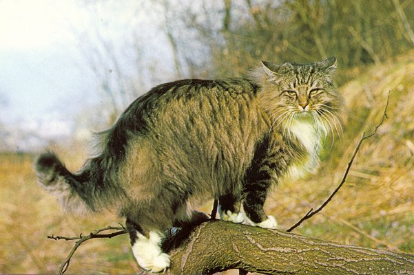 Norgeskaukat Norwegian Forest Cats Uk About The