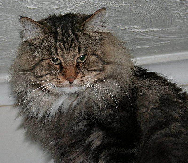 Norwegian Forest Cat Kittens For Sale Norgeskaukatt Norwegian Forest Cats Uk